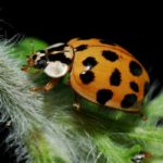 What Asian beetles look like in Central Iowa - Springer Professional Home Services