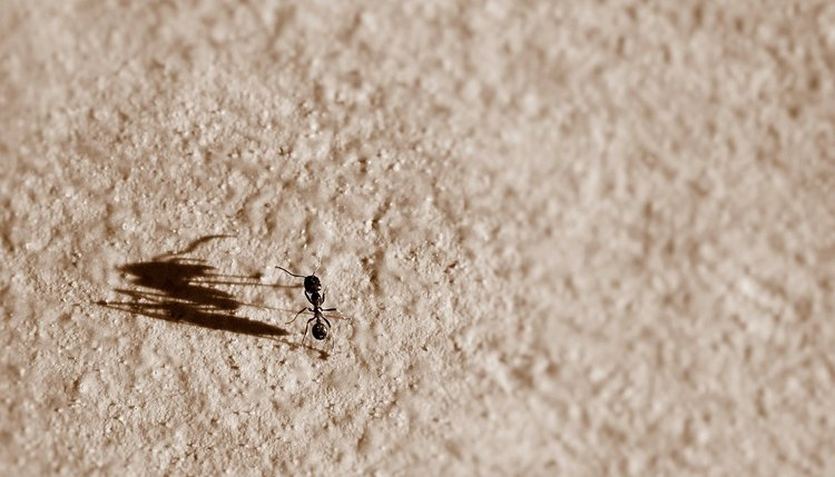 Odorous house ant invades a home in Iowa - Springer