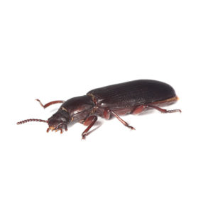 Flour beetles control and prevention in Des Moines and Cedar Rapids Iowa - Springer Professional Home Services.