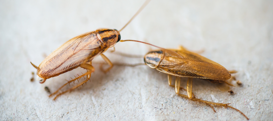 German cockroaches are one of the most dreaded roach problems in Des Moines IA - Springer Professional Home Services