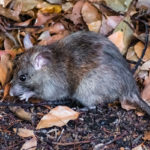 Rodents are entering Des Moines IA homes during the pandemic - Springer Professional Home Services